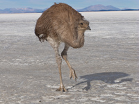 emu in salt lake Salar de Uyuni, Potosi Department, Bolivia, South America
