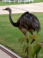 emu in hotel Samaipata, Santa Cruz Department, Bolivia, South America