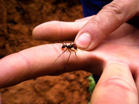 fire ant Samaipata, Santa Cruz Department, Bolivia, South America