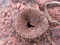 fire ant colony Samaipata, Santa Cruz Department, Bolivia, South America