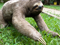 sloth - slow action monster Santa Cruz, Santa Cruz Department, Bolivia, South America