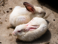 lovely rabbits Santa Cruz, Santa Cruz Department, Bolivia, South America