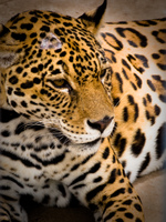 sleeping jaguar Santa Cruz, Santa Cruz Department, Bolivia, South America