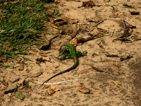 green lizard Santa Cruz, Santa Cruz Department, Bolivia, South America