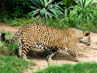 jaguar Santa Cruz, Santa Cruz Department, Bolivia, South America