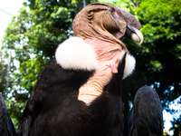 andean condor Santa Cruz, Santa Cruz Department, Bolivia, South America