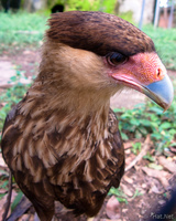 view--southern carcana caracara Santa Cruz, Santa Cruz Department, Bolivia, South America