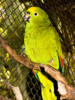 loro gloria Santa Cruz, Santa Cruz Department, Bolivia, South America