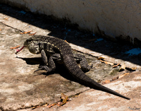 view--giant corumba lizard Corumba, Mato Grosso do Sul (MS), Brazil, South America