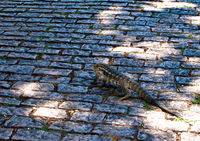 corumba iguana Corumba, Mato Grosso do Sul (MS), Brazil, South America