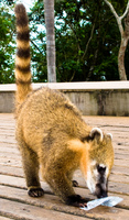 coatis food Foz do Iguassu, Puerto Iguassu, Parana (PR), Misiones, Brazil, South America