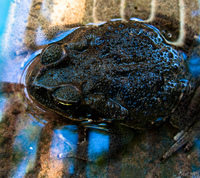 view--lazy toad Fazenda Santa Clara, Mato Grosso do Sul (MS), Brazil, South America