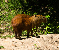 view--capivara lovers Santa Clara Farm, Mato Grosso do Sul (MS), Brazil, South America