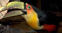 20090930160838_toucan_attack