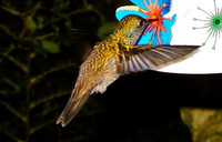 hummingbird hunt for flower Foz do Iguassu, Puerto Iguassu, Parana (PR), Misiones, Brazil, South America