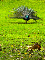 20091112143842_peacock_attack_giant_rat