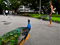 20091112144256_peacock_attack_brazilian
