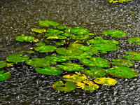 20091113115828_view--water_lily_in_rain