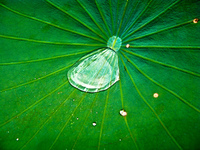 20091113123214_raindrop_in_lily