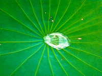 20091113123308_water_lily_raindrop