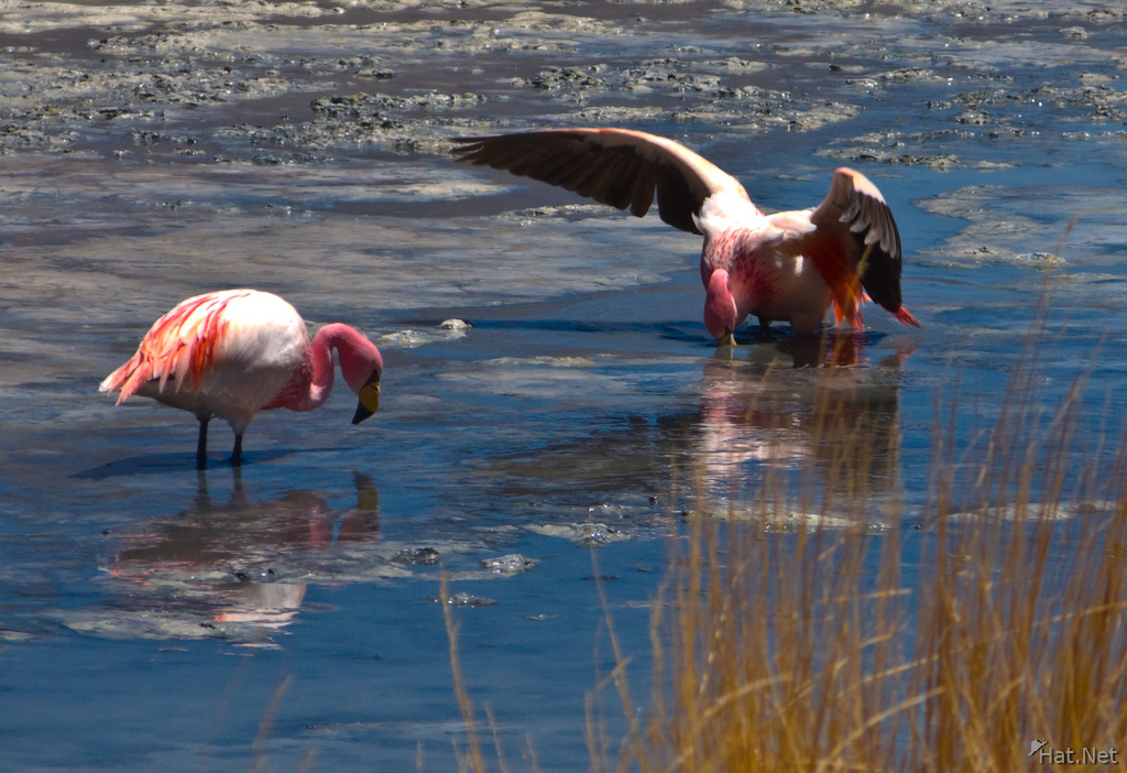 threat of flamingo