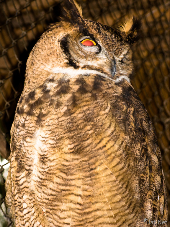great brown owl