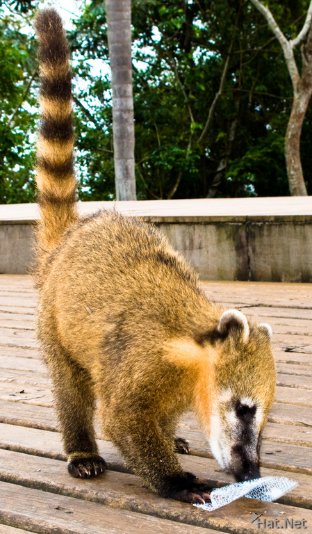coatis food