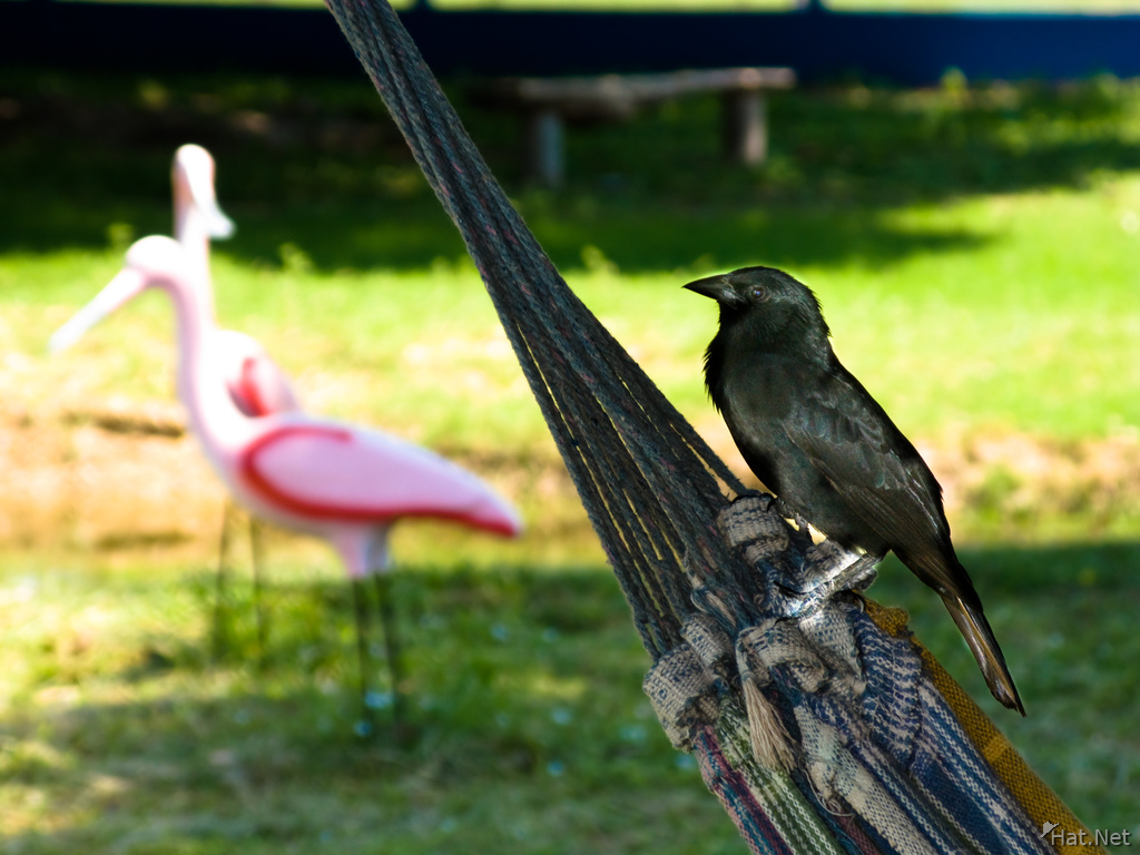 view--black bird on hammock