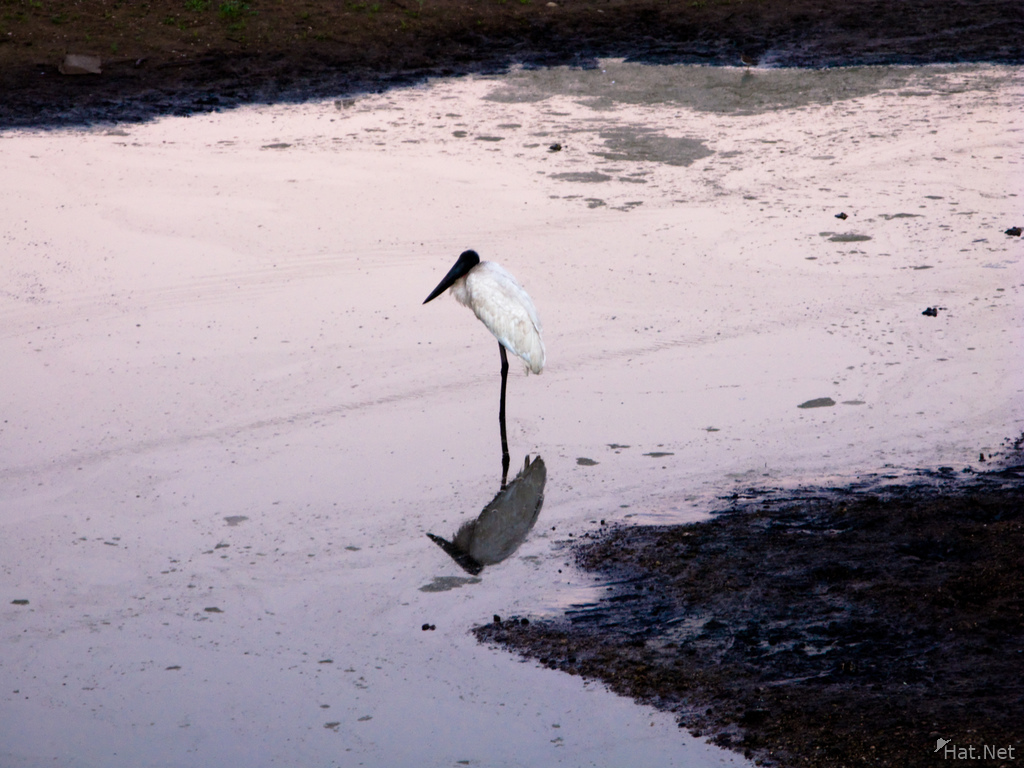 jabiru-tuiuiu morning walk