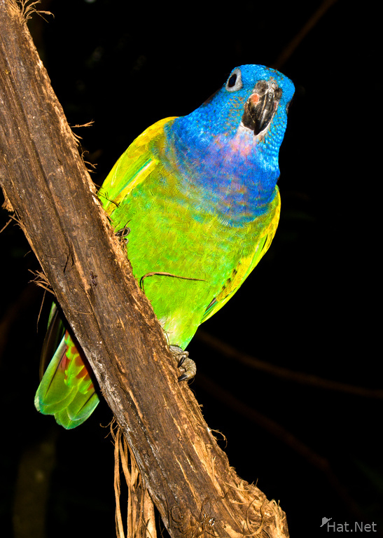 blue headed parakeet