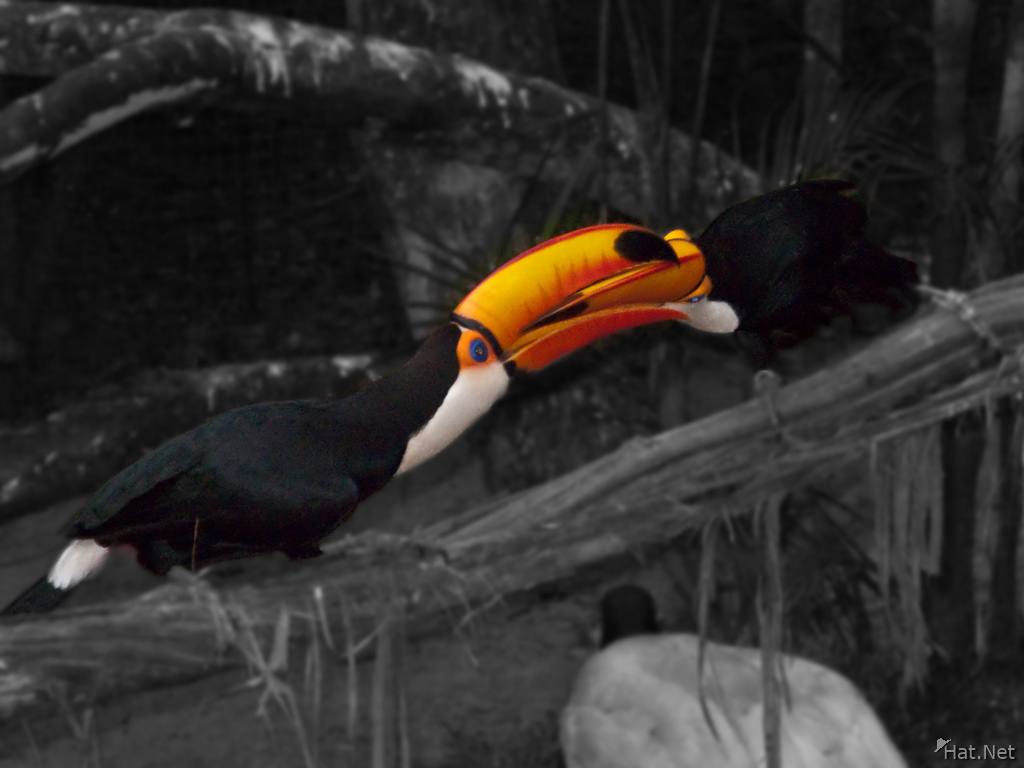 fighting toco toucan