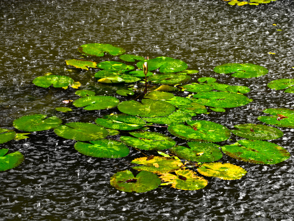 view--water lily in rain