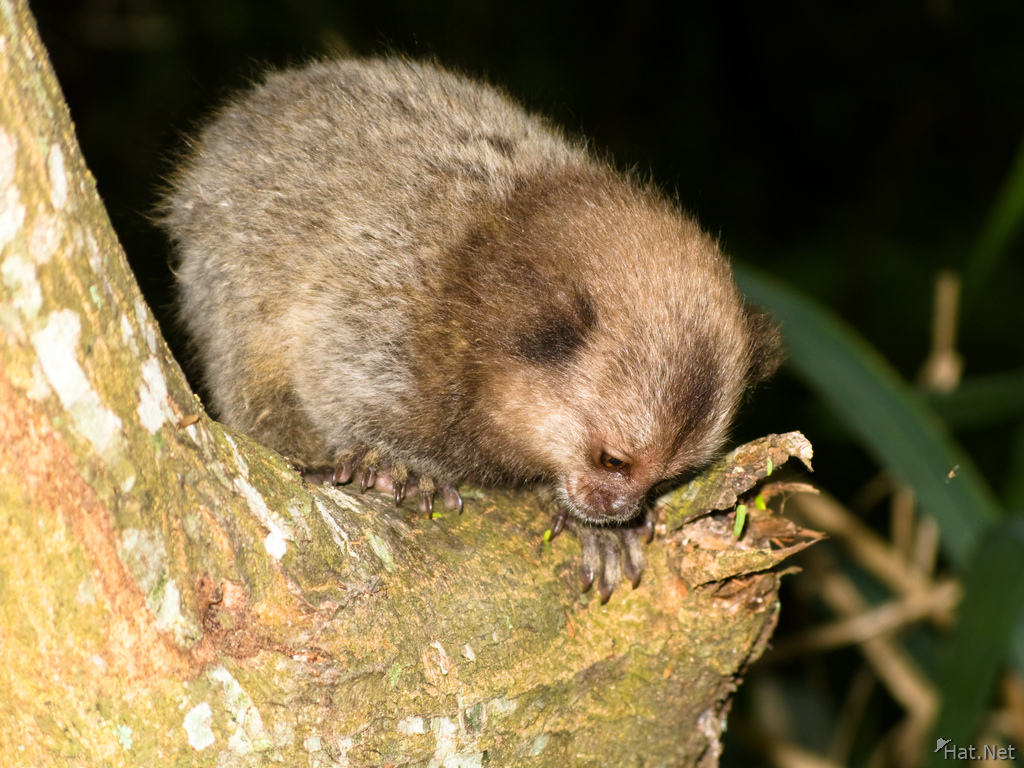 ringed tailed baby moneky of urca