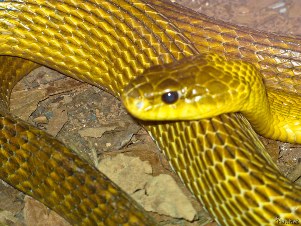 yellow billed puffing snake