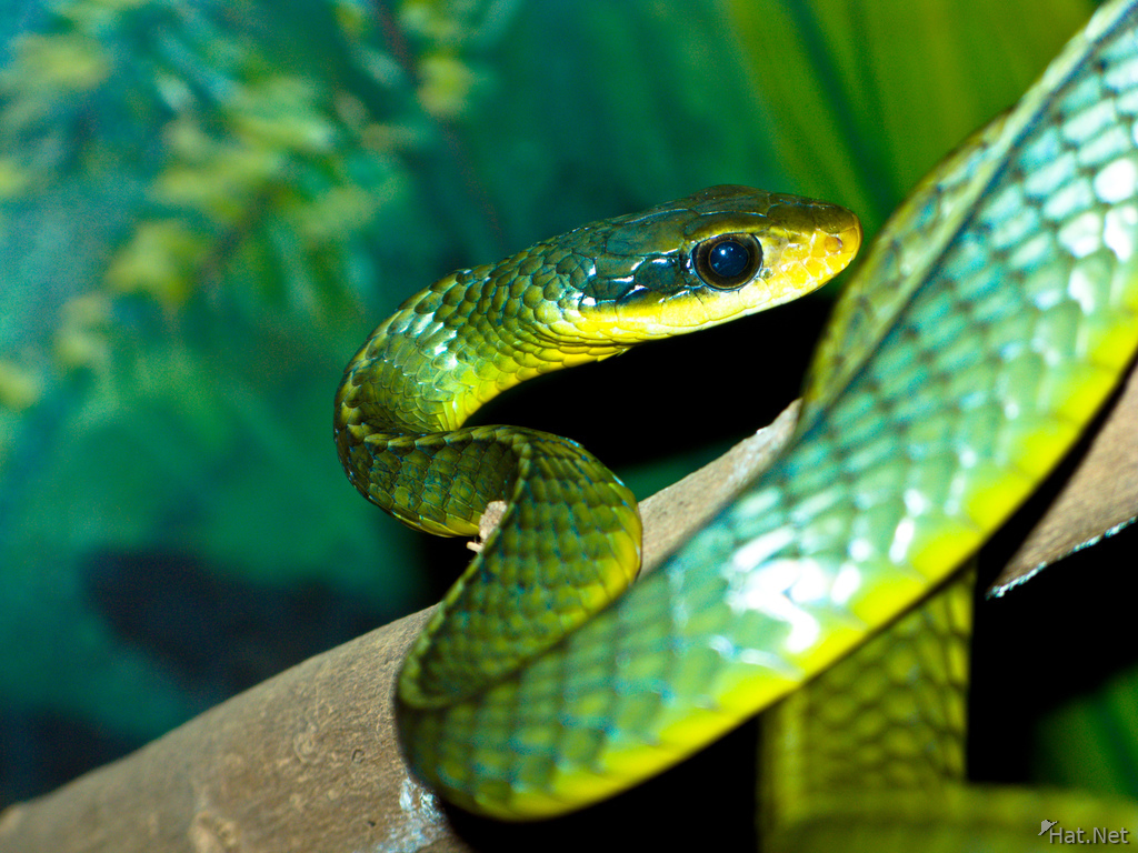 view--two-keeled whipsnake