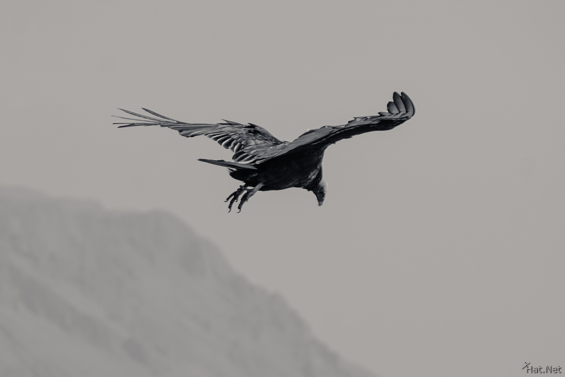 Vulture of Arica