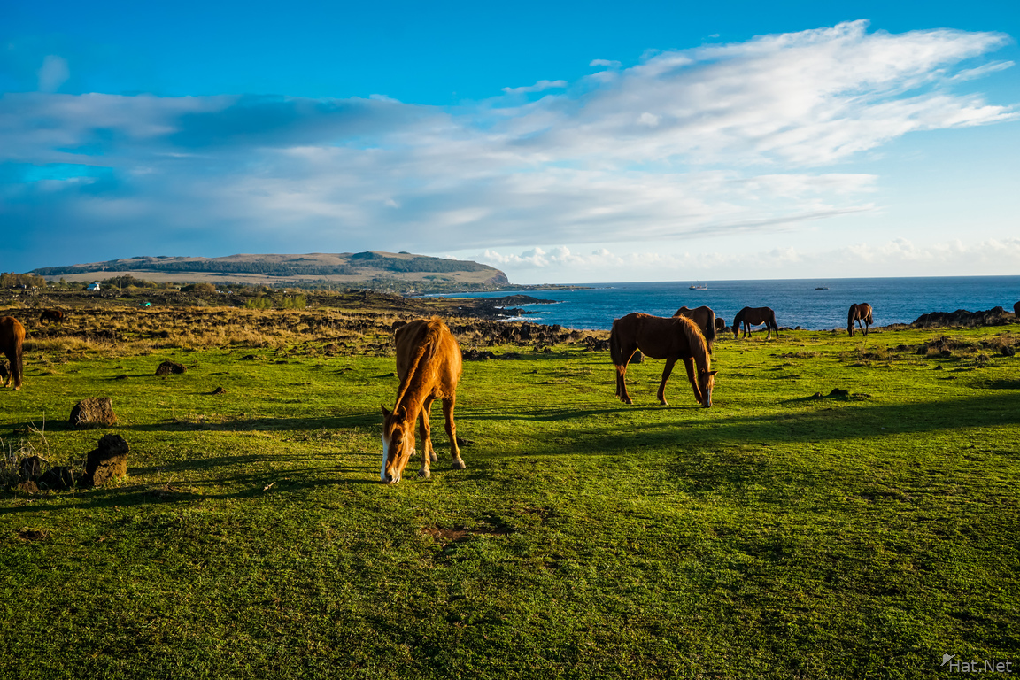 Wild horses of Easter Island Feeding