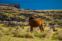 20150909165646_Wild_horses_of_Easter_Island_Self_Pity