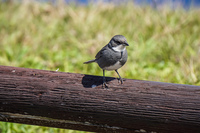 20150910154444_Easter_Island_Sparrow_on_wood
