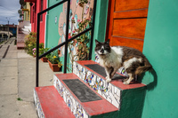 Cat at Green House Yerbas Buenas - Voltaire,  Valparaíso,  Región de Valparaíso,  Chile, South America