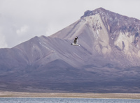 gull and volcano Putre,  Región de Arica y Parinacota,  Chile, South America