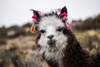 pretty alpaca Putre,  Región de Arica y Parinacota,  Chile, South America