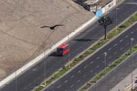 Vulture and red bus Arica,  Región de Arica y Parinacota,  Chile, South America