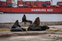 Sea Lion and Hamburg Sud Iquique,  Región de Tarapacá,  Chile, South America