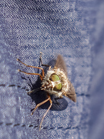 Fly on my pants La Higuera,  Región de Coquimbo,  Chile, South America