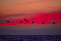 20151011200742_Pelican_flying_over_sunset_sea