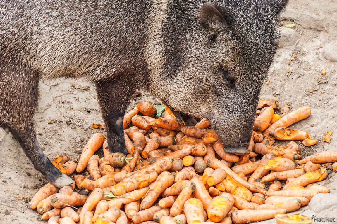 pig and carrots