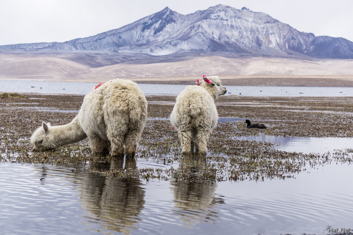 Alpacas drinking and the mountain
