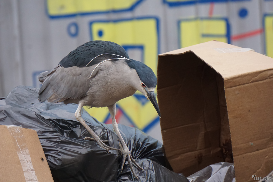 Night Heron Garbage collector