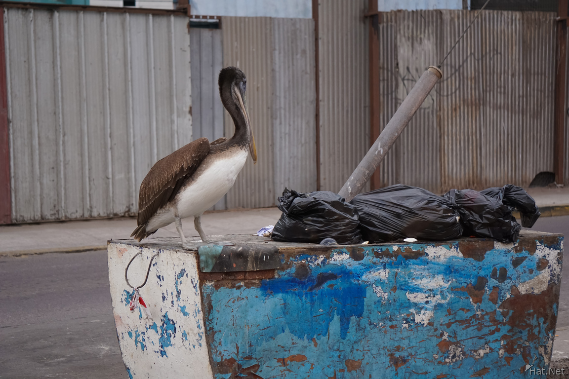 Pelican and garbage